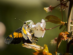 Cotidianidades (sierramarcos14695) Tags: quetzaltenango sony a58 minolta asahi pentax explorando nature flor ciruela blanco rojo mariposa comiendo nectar naturaleza butterfly profundidad de campo belleza delicadeza