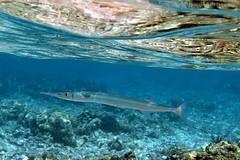 crocodile needlefish: Tylosurus crocodilus (kris.bruland) Tags: crocodileneedlefishtylosuruscrocodilus belonidae tylosuruscrocodilus kahaluubeachpark crocodileneedlefish needlefish houndfish aha kailuakona kona northkona keahou westhawaii hawaiicounty bigisland coral hawaii hawaiian creature reef pacific ocean scuba sea snorkel underwater snorkeling tropical dive diver diving ecology ecosystem environment environmental fish krisbruland ichthyology ichthyologist island islands marine nature organism outdoor saltwater science undersea vertebrate water zoology life sandwich animal aquatic biology