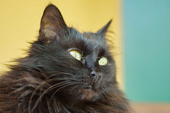 Black Cat (nimor72) Tags: family pet cat black white gray small animal fur friend soft tail head face blue eye feather relax cuddle snuggle grass garden green bed cushion pillow