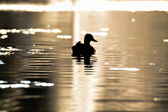olomouc_czech_rep (sallaimisi) Tags: d3100 bird centered duck heat lake mallard minimalism minimalist nikon out outoffocus reflect reflection river shining silhouette simplicity spring summer sun sunrise sunset tranquility water