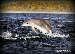 Moray Firth Dolphin - Chanonry point  22/5/13 (Ally.Kemp) Tags: point scotland jumping marine dolphin photographers scottish dolphins calf mammals leaping breaching moray rosemarkie blackisle firth chanonry bottlenose fortrose rossshire 2013