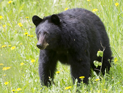 black bear looking at my dog (Steve Dinicol) Tags: bear canada black west nature animal spring bc wildlife columbia british horsefly cariboo