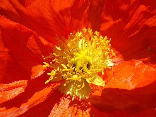 Center of an Orange Poppy