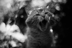 IMG_0863a (hordiymalkovych) Tags: bw white black animal animals zeiss cat photoshop 50mm bokeh f14 like follow carl cy share followme likeforlike