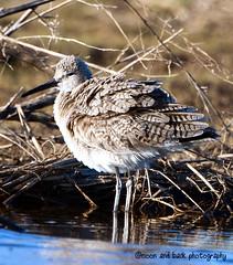 SHAKE IT (Aspenbreeze) Tags: lake birds colorado waterbirds shorebirds willet wildbirds aspenbreeze moonandbackphotography bevzuerlein