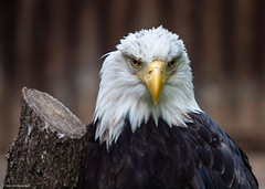 The Monday Stare (katrin glaesmann) Tags: bird animal zoo eagle baldeagle feather hannover haliaeetusleucocephalus tier vogel atthezoo maschendrahtzaun weiskopfseeadler takenthroughafence