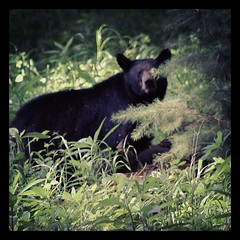 #Bear... #BlackBear #CadesCove #GSMNP #T2i (his 2.0) Tags: square squareformat sutro iphoneography instagramapp uploaded:by=instagram