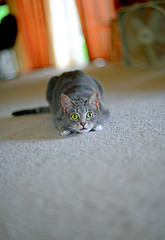 Concentration (LoveMeow) Tags: cute cat concentration focus kitten action kitty gato neko