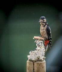 06-23 A damp Pecker #PeckerWatch (Welsh_Si) Tags: bird woodpecker feeding perch perched feed suet rspb