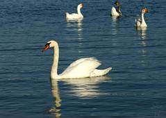 Mute Swan (Shutter_Hand) Tags: usa bird dallas swan texas sony pssaro ave pajaro alpha aus oiseau cisne vogel pjaro muteswan a77 uccello  whiterocklake    lenscraft slta77v sonyalphaa77 miguelmendozamuoz sigma150500mmf563dgoshsmapolens