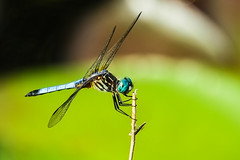Dragonfly (anzere03) Tags: dragonfly