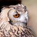 Owl Birds of Prey
