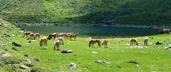 CAVALLI alla OBEREWEISSBRUNNALM 2100 mslm in Val Ultimo - ALPLANERSEE (aldofurlanetto) Tags: cavalli valultimo obereweissbrunalm alplanersee