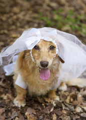 Bride (Doxieone) Tags: wedding dog white cute english halloween goofy yard fun outside bride costume funny married veil dress sweet humor formal cream dachshund blonde marry dressed longhaired fixset