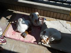 Sun bath (jinghwei) Tags: cats sun amber momo bath tea sleepingcat sunbath