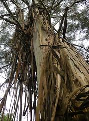 Skin Condition (Durley Beachbum) Tags: bark eucalyptus