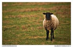 Oveja (cespedesenelmaule) Tags: nikon sheep lamb borrego sagradafamilia oveja curico maule d60 ovejas cordero borrega corderos