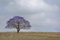 Just a Jacaranda (Beth Wode Photography) Tags: flower tree field rural canon landscape beth country jacaranda jacarandatree boonah wode seqld 5dmarkiii floweringjacaranda bethwode