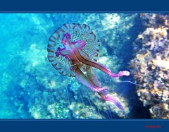 Bellezze nostrane - Homegrown beauties (No Red Sea) (Jambo Jambo) Tags: sea italy jellyfish italia mare underwater snorkeling tuscany toscana medusa grosseto apnea maremma castiglionedellapescaia rocchette pelagianoctiluca medusaluminosa jambojambo mygearandme mygearandmepremium mygearandmebronze mygearandmesilver samsungwp10