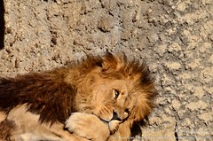Afrikaanse leeuw - Panthera leo leo - African Lion (MrTDiddy) Tags: male amsterdam cat mammal big kat feline leo african lion caesar bigcat cesar artis grote leeuw artiszoo panthera naturaartismagistra zoogdier afrikaanse grotekat