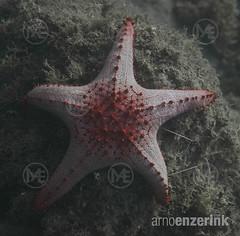 Knobbed starfish on the ocean floor (Arno Enzerink) Tags: ocean sea underwater starfish philippines dive camiguin aquatic seastar marinelife mambajao asteroidea protoreasterlinckii redknobbedstarfish