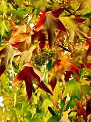 Automne en couleurs... Autumn colors... P1020037 ( RveOcanOceanDream) Tags: autumn france tree colors leaves automne leaf branch couleurs foliage arbre nantes branche francefall feuillagefeuilles maninerveocan