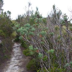 Callitris monticola (tanetahi) Tags: native australian queensland subtropical cupressaceae conifer heathland lamingtonnationalpark glaucous cypresspine callitris davescreektrack callitrismonticola