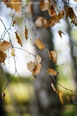 (~moniqe~) Tags: autumn brown tree fall nature yellow gold leaf dof bokeh smooth leafs silky jesie ~moniqe~ polskajesie