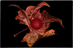 ... SDIM0853/b (*melkor*) Tags: christmas light red brown cold macro art altered geotagged leaf colours shadows experiment minimal conceptual merrychristmas picturesque graphicwork glassball melkor trashbit xmas2013