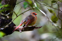 Northern Cardinal (av8s) Tags: nature photography newjersey nikon wildlife nj sigma barnegatlighthousestatepark