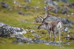 Hreindr - Reindeer - Rangifer tarandus (gunnlaugursig) Tags: reindeer rangifertarandus hreindr