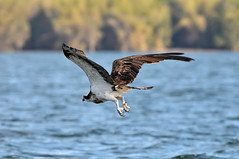 Osprey on a Hunt (Pradeepprakash) Tags: india raptor karnataka osprey birdsanctuary bhadra 2013