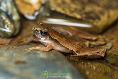 Dark-sided Chorus Frog (Microhyla cf. heymonsi) (NatureStills) Tags: wild detail macro slr nature wet rain animal horizontal closeu