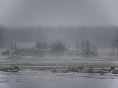 Cerfs dans le froid / Deer in the cold (!Michel Grenier!) Tags: winter mist cold fog countryside quebec hiver deer telephoto québec campagne froid brume chevreuil telezoom téléobjectif cerfdevirginie lumixgvario100300f4056 olympusem1