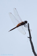 Antillean Saddlebags (Tramea insularis) . (od0man) Tags: usa insect geotagged florida dragonfly bluehole odonata libellulidae anisoptera bigpinekey saddlebags tramea antilleansaddlebags trameainsularis geo:lat=24705637442851238 geo:lon=8138041341308053