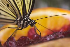 Weiße Baumnymphe (Helmut44) Tags: macro animal butterfly germany deutschland magdeburg insekt tier schmetterling sachsenanhalt elbauenpark