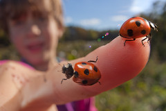 Coming soon... (johnhallmen) Tags: macro insect beetle ladybird ladybug childrensbook coleoptera canon5dmkii canon270ex nikone2extensiontube nikonk1extensiontube
