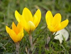 3 Heads (Adam Swaine) Tags: county uk flowers england macro green english beautiful yellow canon photography petals flora britain crocus 2014 naturelovers swaine thisphotorocks thebestyellow adamswaine mostbeautifulpicturesmbppictures wwwadamswainecouk
