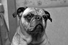 Willis the Pug (MacKenzie Richmond) Tags: seattle portrait blackandwhite graffiti washington pug capitalhill uploaded:by=flickrmobile flickriosapp:filter=nofilter mackenzierichmond