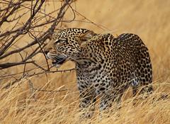 She Leopard hunting (Rainbirder) Tags: samburu africanleopard pantherapardus rainbirder
