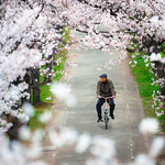 Sakura @ Kema Sakuranomiya Park Osaka