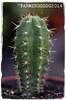 Trichocereus peruvianus 'Tarma' (farmer dodds) Tags: cactus cactaceae sanpedro mescaline tarma echinopsis trichocereus trichocereusperuvianus echinopsisperuvianus