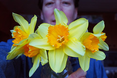 087 2014 daffodils (Margaret Stranks) Tags: petals trumpet stamen daffodils anther 2014 365days 087365