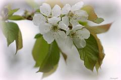 Le cerisier- (annegbt) Tags: flowers white macro fleurs petals cerisier ptales