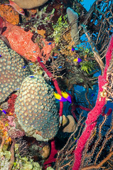 DSC03599a (rwe0207) Tags: fish belize scuba diving cayecaulker underwaterphotography