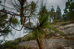Gotas (libretacanaria) Tags: tree grancanaria drops gotas rbol canaryislands islascanarias pinocanario