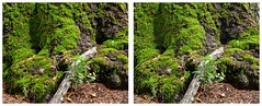 Moss (sleightman 3D) Tags: old tree forest stereoscopic stereogram 3d moss crosseye colorful stereo stereoview depth hdr allrightsreserved hdri stereoscope sapling crossview 3dphotography sleightman copyrightcarlwilson