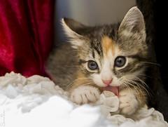 20161116_6678c (Fantasyfan.) Tags: sohvilaiset kittens fantasyfanin