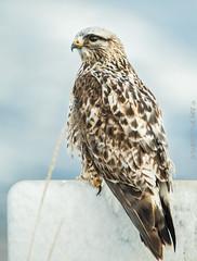 Explored Hawk (Jami Bollschweiler Photography) Tags: rough legged hawk utah wildlife bird photography image farmington bay