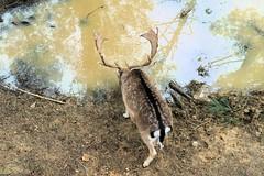 DSC_0990 -1 (Marty-Macfly) Tags: damadama daim deer